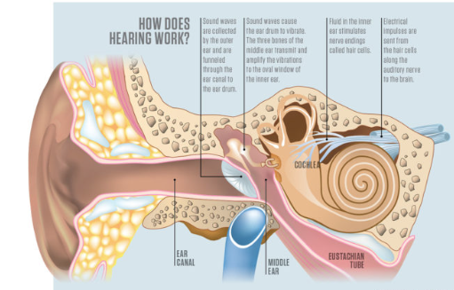 How hearing works diagram